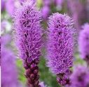 Liatris Wedding Flowers and Floral Arrangements