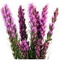 Buy Liatris Wedding Flowers Online