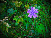 Common Mallow Weeds: Tips For Controlling Mallow Weeds In Landscapes