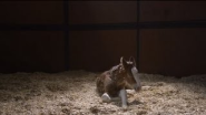 "Budweiser — The Clydesdales: ""Brotherhood"" - YouTube"