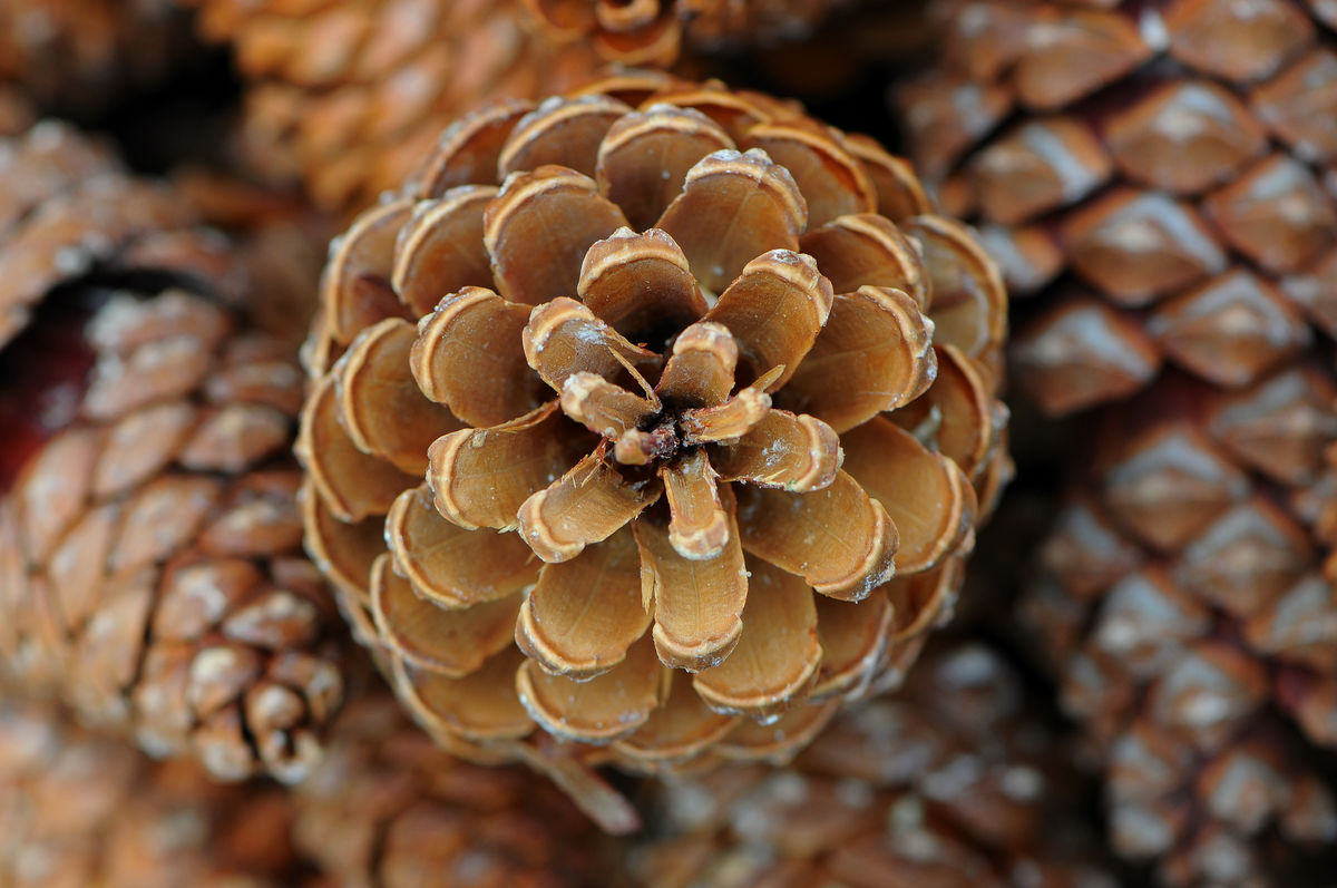 Headline for 10 Pine Cone Crafts for the Holidays.