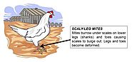 Know about types of scaly leg mites on chicken