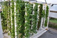 Rochester, Minnesota Aquaponic Startup Takes Farm-to-Fork to a Whole New Level