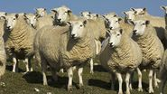 Top five GB sheep breeds revealed in Eblex survey - Farmers Weekly