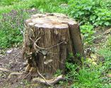 How to remove tree stumps without chemicals or tools