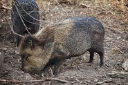 Be Safe and Secure and While Hog Hunting in Texas and be Sure About the Hunting Season