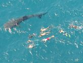 Whale shark tourism boom expected in Western Australia