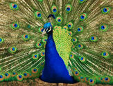 To see a Peacock before a journey is considered Auspicious