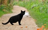 If a Black Cat crosses your way, it is treated to be very bad day