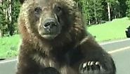 ViralHog in the Wild | CBS News | Grizzly bear climbs on Montana family's car