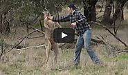 National Geographic | Man Who Punched Kangaroo to Save His Dog Risked His Life