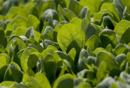 Food safety experts: Mixing, washing, packaging of bagged greens increase contamination risks