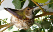 Bella Hummingbird Nest