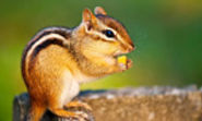 Chipmunk Mountain