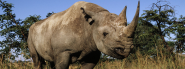 Black Rhino | Species | WWF