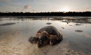 Hawksbill Turtle | Species | WWF