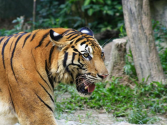 South China Tiger | Species | WWF