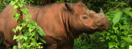 Sumatran Rhino | Species | WWF