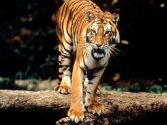 Sumatran Tiger | Species | WWF