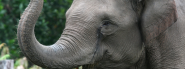 Asian Elephant | Species | WWF
