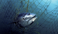 Bluefin Tuna | Species | WWF