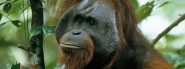 Bornean Orangutan | Species | WWF
