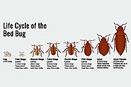 Bed bugs - how to get rid of bedbugs