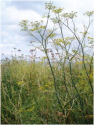 Foeniculum vulgare: Try Your Hand at Fennel