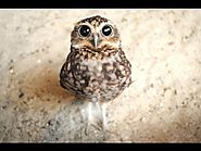 2015 Compilation - Funny, cute and adorable baby owl omg lol