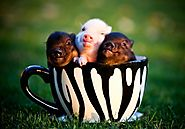 lots of people play with tea cup pigs they are small and cute