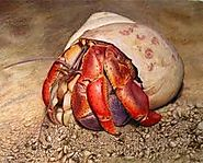 hermit crab kinda like to play but usually stay in shell and sleep some times eat