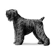 Black Russian Terrier Dog Breed Information