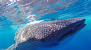 Swimming with Whale Sharks – Mexico
