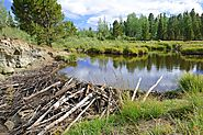 Beavers create nitrogen sinks - Geographical