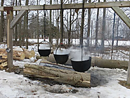 How maple syrup is collected