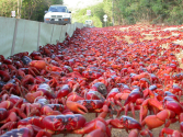 The Astonishing Annual Red Crab Migration Named...