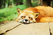 The Sweet Sleeping Fox on Pixabay
