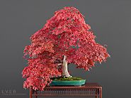 Bonsai seasons: Spectacular Fall colors