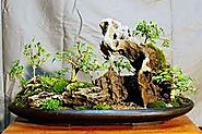 The Chicago Botanic Garden's bonsai collection is regarded by bonsai experts as one of the best public collections in...