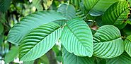 The different types and names of Kratom trees - kratomguides.com