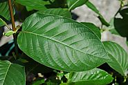 Medicinal Applications and Benefits of Kratom - kratomguides.com