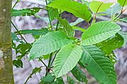 What is Kratom? Why it is Gaining Much Popularity - kratomguides.com