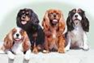 Their silky coats come in four colors – Blenheim (chestnut and white), Tricolor (black, white, and tan), Ruby (solid ...