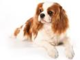 Cavaliers are named after King Charles II of Britain.