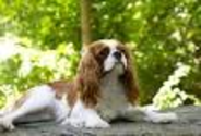 The average height for a cavalier is 12 to 13 inches tall at the shoulder.