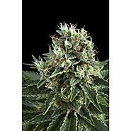 Ensure of the perfect feminized cannabis seeds in UK