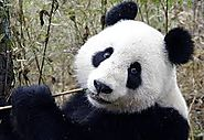 All kinds of pandas are endangered due to their lack of population.