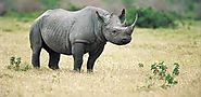 The Black Rhino is on the brig of extinction.