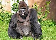 The Cross River Gorilla