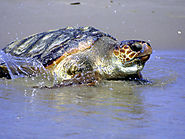 The Loggerhead Turtle